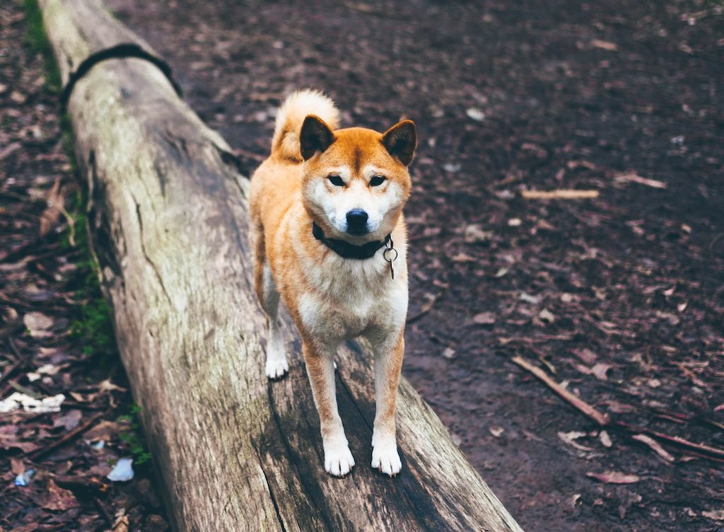 Shibas on Instagram